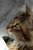 Cómo hidratar un gato con problemas renales