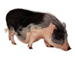 Cómo cuidar los cerdos Potbellied