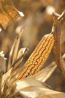 Diferencias entre maíz y sémola de maíz