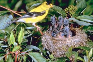 Cómo hacer un nido para un pinzón