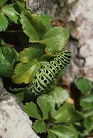 Cómo cuidar de negro Papilionidae orugas
