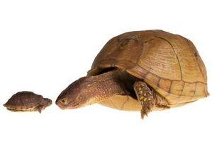 Cómo criar un par de tortugas