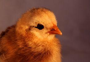 Diferencia entre una gallina y un gallo del bebé del bebé
