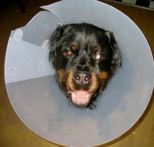 Cómo acostumbrar al perro a un collar isabelino