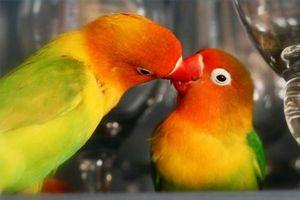 Cómo averiguar si las aves son el apareamiento