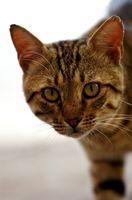 Comportamiento del gato violento al azar