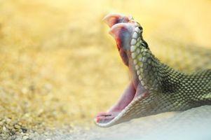 Rattle serpiente muerde y Gatos