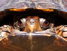 Las tortugas acuáticas que se parecen a una tortuga de caja
