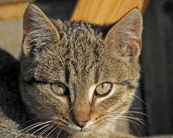 Los tratamientos de pulgas de gato y embarazadas