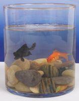 Tipos de peces Betta