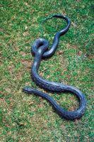 Cómo cuidar para una serpiente de rata Negro
