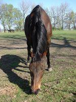 Cómo hacer que la mosca de spray con aceite de neem para los caballos