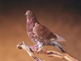 ¿Qué es una paloma mensajera?