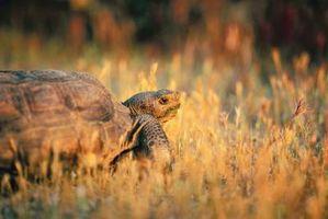 Descripción de una tortuga de tierra