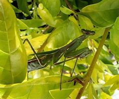 ¿Cómo funciona un Mantis religiosa camuflaje en un entorno