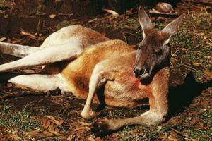 Las diferencias entre los humanos y canguros