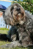 Tratamientos holísticos para pulgas alergias en los perros