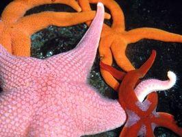 Clasificación de una estrella de mar rosada