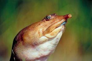 Diferencia entre macho y hembra apalone ferox