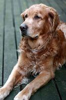 Los tratamientos para la luxación de cadera súbito en los perros