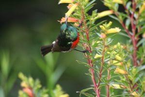Dieta Sunbird Regal