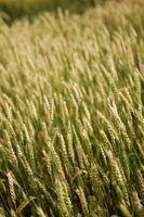 ¿Qué son los granos de trigo utiliza?