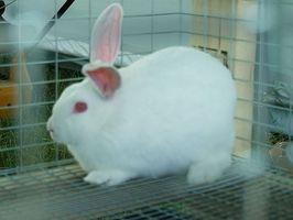 Cómo criar conejos de carne