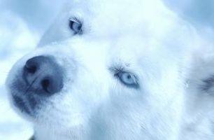 ¿Hay problemas de salud Si un perro tiene los ojos azules?
