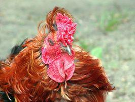 ¿Cómo saber la diferencia en el macho y hembra Pollos