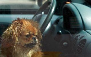 Cómo viajar con un perro que tiene la insuficiencia cardíaca congestiva