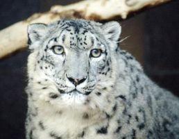 Tipos de leopardos