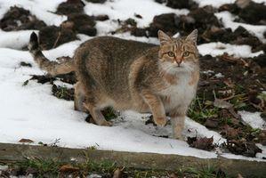 """¿Qué causa la """"Cola muerto"""" en los gatos?"""