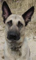Cómo ejercitar un perro pastor belga