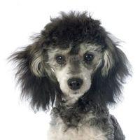 ¿Qué es un fantasma del caniche?