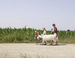 Cómo domesticar a su cabra lechera
