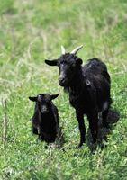 Cómo dehorn una cabra adulta