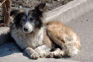 Cómo evitar que los ácaros en perros