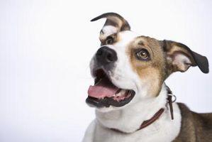 Las verrugas faciales en un perro