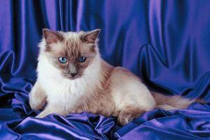 Los diferentes modelos y colores de los gatos de Ragdoll