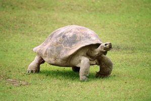 ¿Cómo identifico una tortuga De una tortuga?