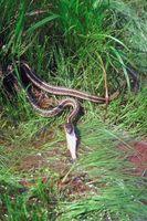 Las serpientes comunes que se encuentran en una charca de Virginia