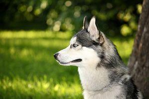 Homeopatía para problemas de los ojos en los perros