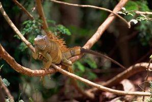 Cómo saber el sexo de su iguana verde