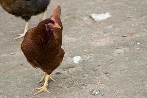 Sustitutos de las aves de corral de alimentación
