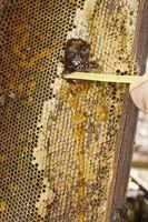 Insectos que comen la miel