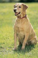 Cómo Housebreak un adulto Labrador retriever