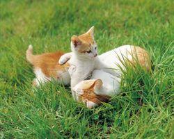 Cuando a cambio de comida gatito de la comida para gatos en el cuidado del gatito
