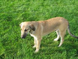 Cómo prevenir anquilostomas para perros