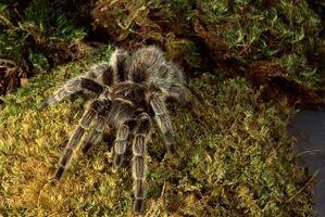 Cómo limpiar su jaula Tarantula