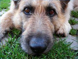 Consejos sobre el uso de primera línea para perros